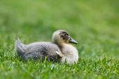 Duckling sitting on grass — Stockfoto