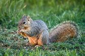 Squirrel eating bird seeds — Stock Photo
