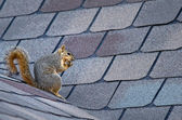 Squirrel on the roof — Foto Stock