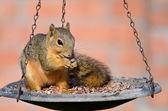 Young Fox squirrel (Sciurus niger) — Stock Photo