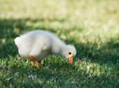 White Chinese Goose gosling — Стоковое фото