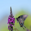 Eastern Tiger Swallowtail butterfly (Papilio glaucus) — Stock Photo