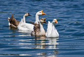 White and Brown Chinese Geese (Anser cygnoides) — Stock Photo