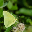 Stock Photo: Cloudless Sulphur butterfly (Phoebis sennae)