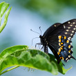 Black Swallowtail butterfly (Papilio polyxenes) — Stock Photo