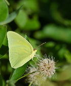 Cloudless Sulphur butterfly (Phoebis sennae) — Stock Photo