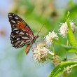 Gulf Fritillary butterfly (Agraulis vanillae) — Stock Photo #27891535