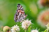 American Painted Lady butterfly (Vanessa virginiensis) — Stock Photo