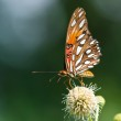 Gulf Fritillary butterfly (Agraulis vanillae) — Stock Photo #28134731