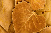 Golden brown autumn leaves — Stock Photo