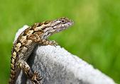 Texas spiny lizard — Stock Photo