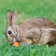Cottontail bunny rabbit — Stock Photo