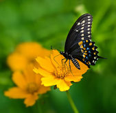 Svart swallowtail butterfly — Stockfoto