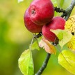Red apples on a tree branch — Stock Photo