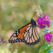 Monarch butterfly on butterfly bush flowers — Stock Photo