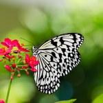 Постер, плакат: Paper Kite butterfly