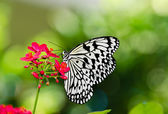 Paper Kite butterfly — Stock Photo