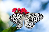 Paper Kite or Rice Paper butterfly — Foto de Stock