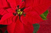 Red poinsettia flower — Stock Photo