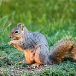 Eastern Fox squirrel (Sciurus niger) — Stock Photo