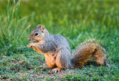 Eastern Fox squirrel (Sciurus niger) — 图库照片