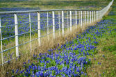 Bluebonnets and white fence — Stock fotografie