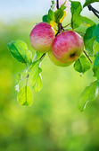 Apples growing on an apple tree branch — Stock Photo
