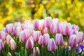Pink and white tulips blooming in spring — Stock Photo