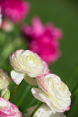 White and pink ranunculus flowers blooming in spring — Stock Photo