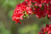 Red Azalea blossoms in spring — Stock Photo