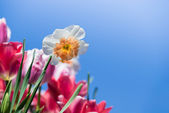 Daffodil flower and tulips blooming in spring against blue sky — Stock Photo