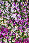 Purple and yellow pansy flowers nature background — Stock Photo