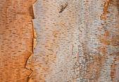 Fundo de textura do vidoeiro árvore casca — Fotografia Stock