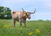 Longhorn do texas — Foto Stock