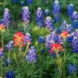 Texas Bluebonnet and Indian Paintbrush wildflowers — Stock Photo #45128223