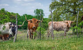 Gado de texas longhorn — Foto Stock
