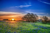 Texas bluebonnet field at sunrise — Stock Photo