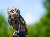Eastern Screech Owl (Megascops asio) — Stock Photo