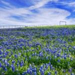 Texas Bluebonnet field in bloom — Stock Photo #46108705