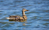 Female Mallard duck (Anas platyrhynchos) and ducklings — 图库照片