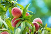 плоды персикового дерева — Стоковое фото