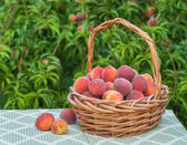 Freshly picked peach fruits in basket — Stockfoto
