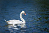 Mute swan (Cygnus olor) swimming — Stock Photo