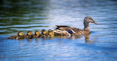 Female Mallard duck (Anas platyrhynchos) and ducklings — Stock fotografie