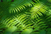Fern nature background — Stock Photo
