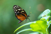 Tiger Longwing butterfly (Heliconius hecale) — Stock Photo