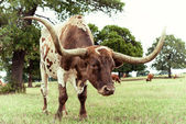 Texas Longhorn cattle grazing on pasture — Stock Photo