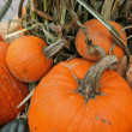 Assorted pumpkins in preparation for Halloween — Stock Photo