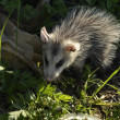Common Opossum (Didelphis marsupialis) - Stok fotoraf