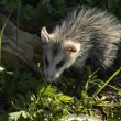 Stock Photo: Common Opossum (Didelphis marsupialis)